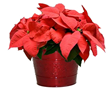 Costa Farms Celebrates National Poinsettia Day On December 12