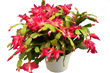 Christmas Cactus, Costa Farms
