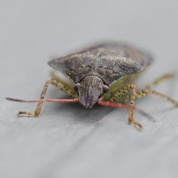 nashville stink bug