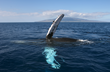 It's Beginning To Look A Lot Like A Record Year For Maui Whale...