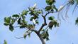 Abbotti Cockatoos on roosting tree