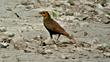 blackbirds, black bird, blackbird