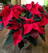 Caring for Your Potted Holiday Flowers