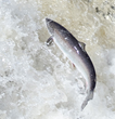 Greenland's Take Was 63% of Total Harvest of Canadian Atlantic Salmon...