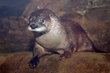 Maritime Aquarium Welcomes New Young River Otter