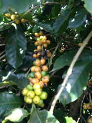 coffee beans from Fazenda Bela Vista, Minas Gerais, Brazil, roasted by Ohio coffee roaster Crimson Cup Coffee & Tea