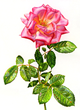 Luminous Watercolor Rose Painting by Lela Stankovic