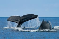 Honolulu activities, whale watching, Oahu hotels