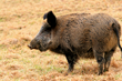 US Federal Contractor Registration: Sole Source Feral Hog Hunting...