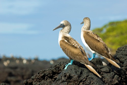 The blue footed boobies on the Galapagos Islands of Ecuador
