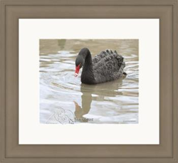 """Black Swan"" by Joseph Dunning"