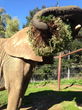 Donna the elephant with donated Christmas tree