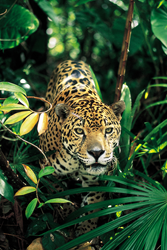 Search for jaguar in their natural habitat on IE's Brazil tour.