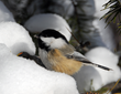How Do Birds Survive Frigid Winter Temperatures?