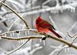 cardinal, american cardinal, winter bird, snow, ice, birds, songbirds, red bird, red birds, winter, cold