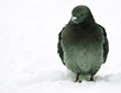 Winter Proves Pigeons Are City Pests Year-Round