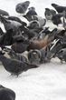 pigeon, winter, pigeons, pidgeons, pidgeon, snow, january, chicago, city, new york