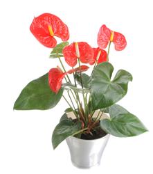 Allura Anthurium, Costa Farms, National Houseplant Appreciation Day