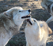 "Oakland Zoo's Conservation Speaker Series Presents, ""Wolves of California: The Long Journey Home"""