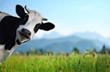 Ashton Solutions Likes Cows