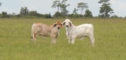 Polled Brahman Cattle