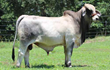Attendance at National Brahman Junior Show in Louisiana Announced by Moreno Ranches
