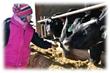 Come to The Farmer's Cow Annual Winter Farm Tour
