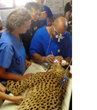 Ophthalmologist Performs Surgery to Help Save Young Cheetah's Eye...