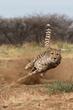 Khayjay exercises at Cheetah Conservation Fund