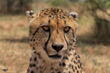 A healthy Khayjay at Cheetah Conservation Fund before his eye problem developed