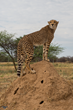 A healthy Khayjay stands proudly atop a dirt mound at Cheetah Conservation Fund