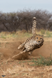 Khayjay, an ambassador cheetah at Cheetah Conservation Fund in Namibia
