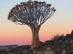 The blessed quiver tree of Namibia