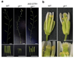 Tokyo Institute of Technology research: Plant fertility - how hormones get around