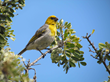 Palila bird, found only on the upper slopes of Mauna Kea