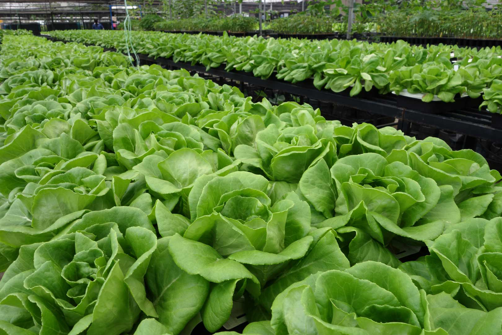 Growing lettuce in a pot - Lettuce Grown Using Our Plant Driven Technology On The Rooftopthere Is No Nutrient And Water Recycling For Growing Lettuce With Our Plant Driven System