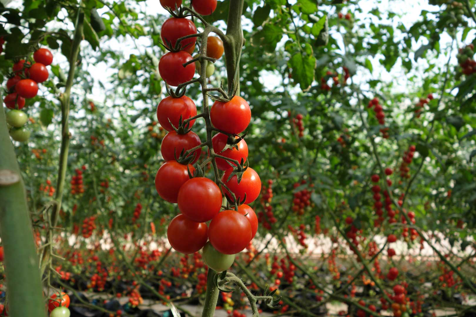 Growing cherry tomatoes in pots - Cherry Tomatoes Grown With Our Plant Driven Technology Cherry Tomatoes