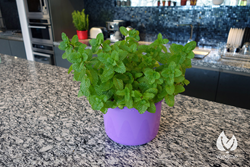 Mint growing in Vivogrow Herb Pot