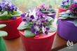 African Violet On The Window Sill