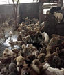 Inside an illegal dog slaughter house.