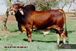Moreno Ranches Announces Brahman Cattle Sale Catalog Availability for Upcoming Sale