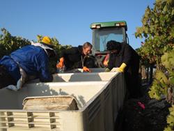 whalebone vineyard - best wineries in Paso Robles - grape pickers
