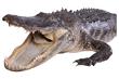 The Commodore's 8.5 foot taxidermy alligator