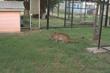 Pumas at Pumarama