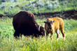 buffalo Montana