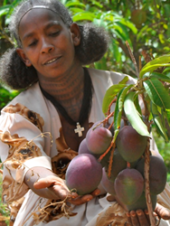 A woman client of REST Ethiopia shows the fruits of her mango treeA woman client of REST Ethiopia harvests her mango tree