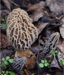 Morel Habitat Kit Morel Mushroom
