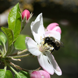Indiegogo, crowdfunding, mason bee, native bee, honey bee