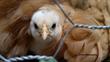 Orpington/Wyandotte Cross is the Winner of USDA Cutest Bird Photo Contest