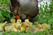 Mother Goose with Goslings and Orpington/Wyandotte Mix Hen Win USDA Cutest Bird Contest